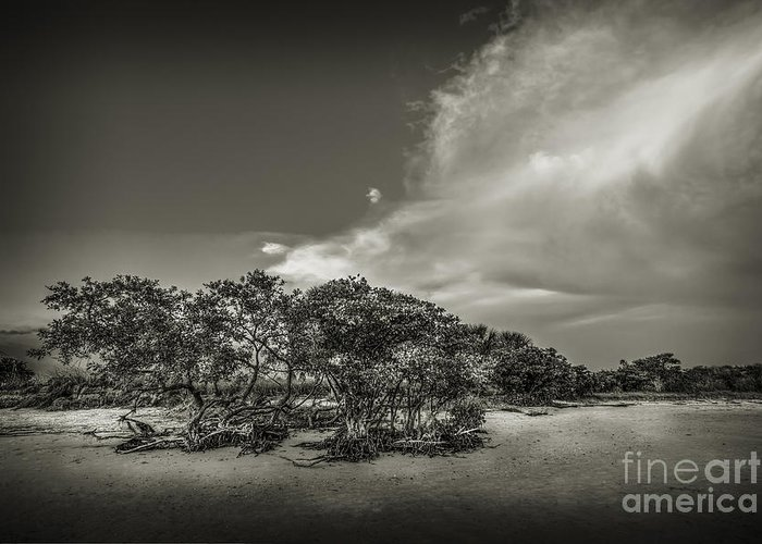 Mangrove Greeting Card featuring the photograph Mangrove At Low Tide by Marvin Spates