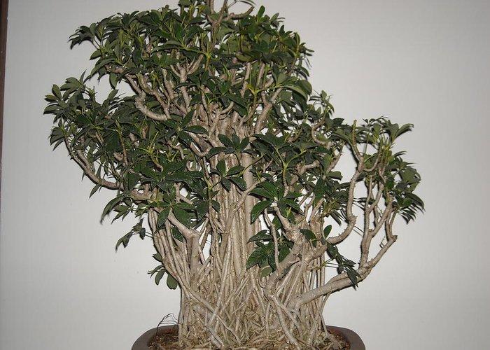 Mangrove Root Scheflera Bonsai Grouping Back Greeting Card