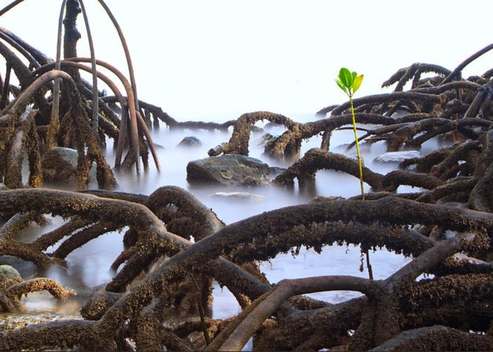 Mangrove Tree Greeting Card featuring the photograph Mangrove Tree Roots Detail by Dirk Ercken