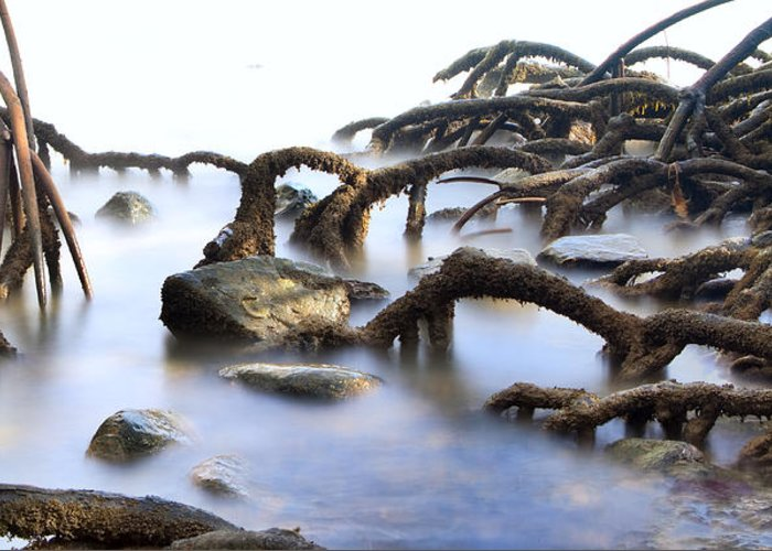 Mangrove Tree Greeting Card featuring the photograph Mangrove Tree Roots by Dirk Ercken