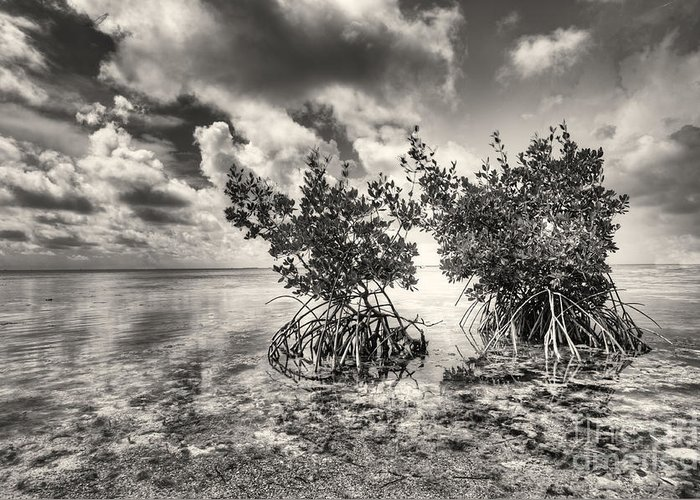 Mangroves Greeting Card featuring the photograph Mangroves by Bruce Bain