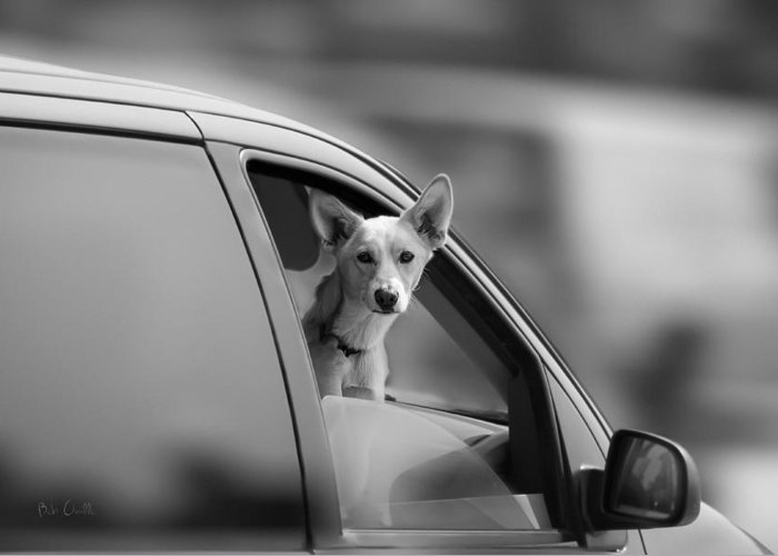 Dog Greeting Card featuring the photograph Mans Best Friend Riding Shotgun by Bob Orsillo