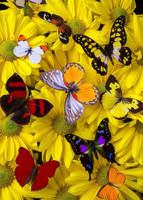 Many Greeting Card featuring the photograph Many Butterflies On Mums by Garry Gay