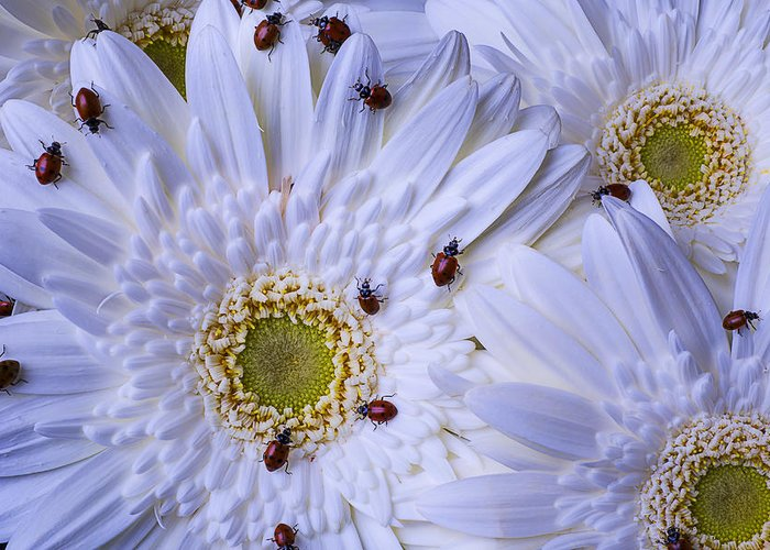 Many Greeting Card featuring the photograph Many Ladybugs On White Daisy by Garry Gay