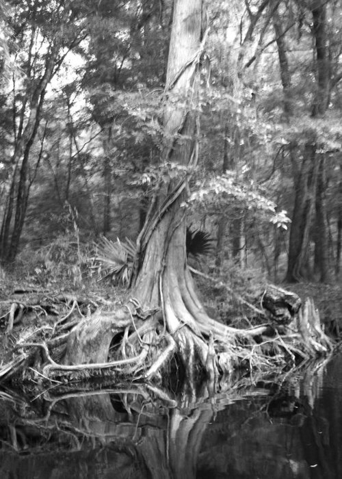 Old Cypress Tree Along River. Greeting Card featuring the photograph Many Roots by Amber Lopez