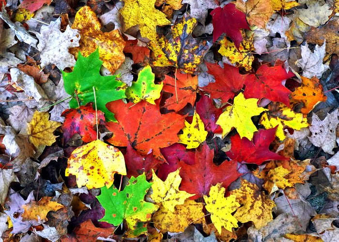 Maple Greeting Card featuring the photograph Maple Carpet by Jackie Carpenter