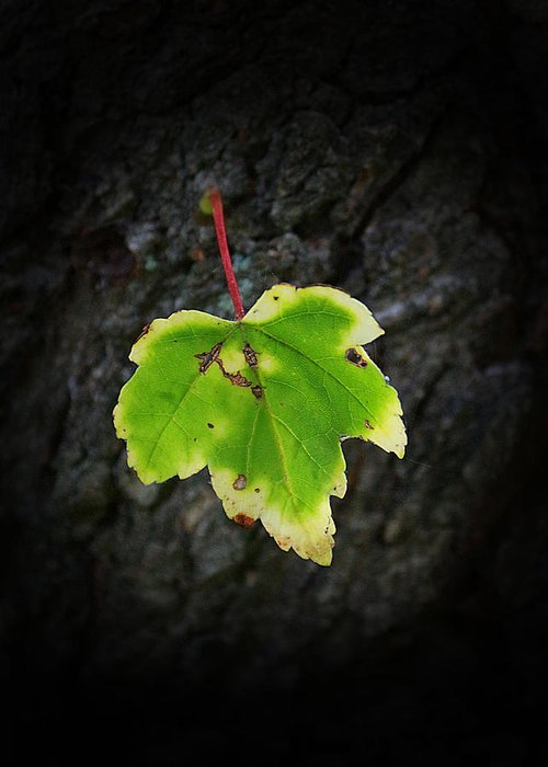 Leaf Greeting Card featuring the photograph Maple Leaf by Ester Rogers