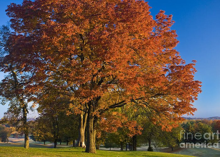 Autumn Greeting Card featuring the photograph Maple Trees by Brian Jannsen