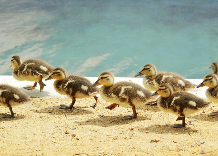 Ducklings Greeting Card featuring the photograph March Of The Ducklings by Fraida Gutovich