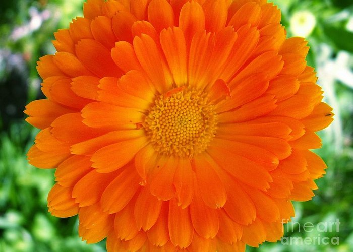 Dew Greeting Card featuring the photograph Marigold by Sarka Olehlova