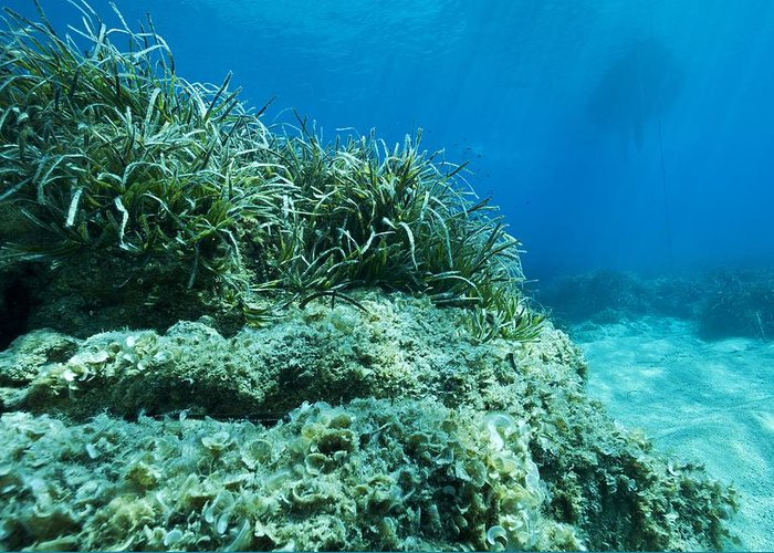 Alga Greeting Card featuring the photograph Marine Plants by Science Photo Library
