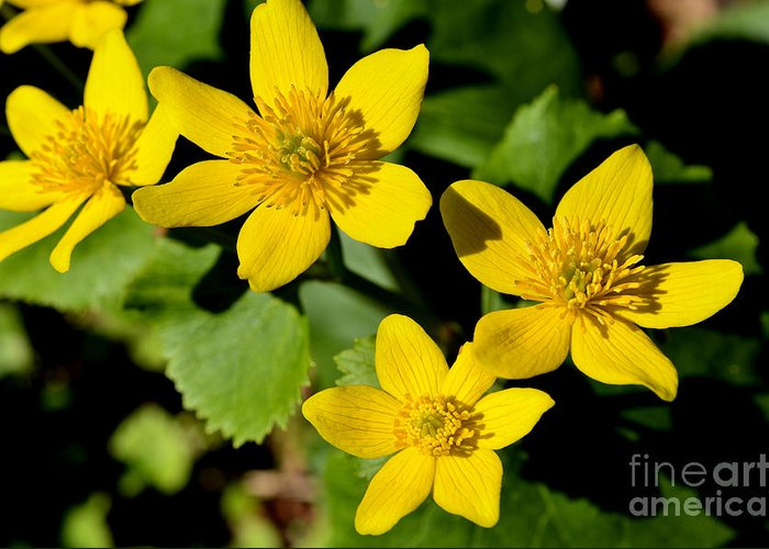 Marsh Marigold Greeting Card featuring the photograph Marsh Marigold by Thomas R Fletcher