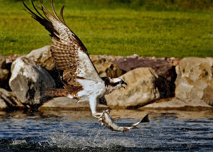 Osprey Greeting Card featuring the photograph Master Fisherman by Jack Bell