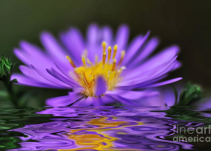 Photography Greeting Card featuring the photograph Mauve Softness And Reflections by Kaye Menner