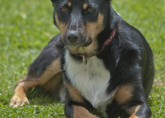 Dog Greeting Card featuring the photograph Max Kelpie Border Collie Cross by Patrick OConnell