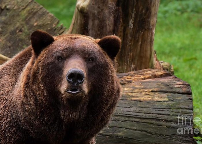 Bear Greeting Card featuring the photograph Max The Brown Bear by Mickey At Rawshutterbug
