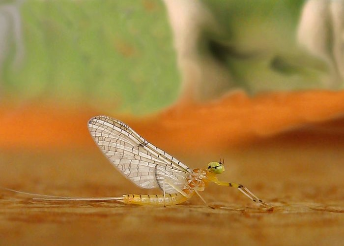 Mayfly Greeting Card featuring the photograph Mayfly Art by Thomas Young