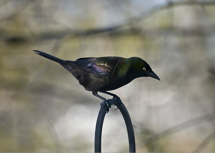 Birds Greeting Card featuring the photograph Mean Mr. Grackle by Ross Powell