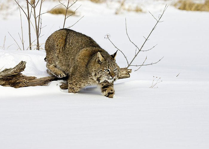 Bobcat Greeting Card featuring the photograph Meander by Jack Milchanowski