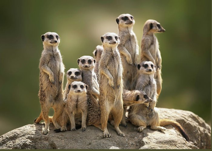 Scenics Greeting Card featuring the photograph Meerkat Family On Lookout by Kristianbell