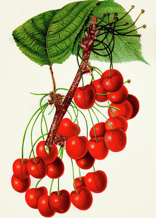 Engraving Greeting Card featuring the digital art Mercer Cherry Illustration 1892 by Thepalmer