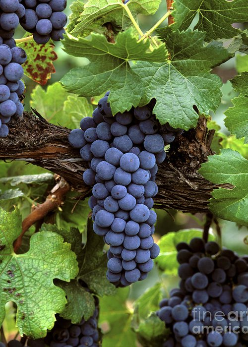 Cluster Greeting Card featuring the photograph Merlot Clusters by Craig Lovell