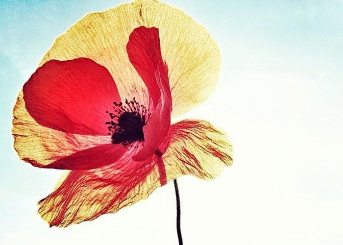 Europe Greeting Card featuring the photograph #mgmarts #poppy #nature #red #hungary by Marianna Mills
