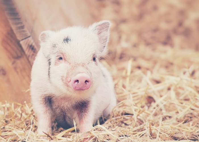 Pig Greeting Card featuring the photograph Micro Pig by Samantha Nicol Art Photography