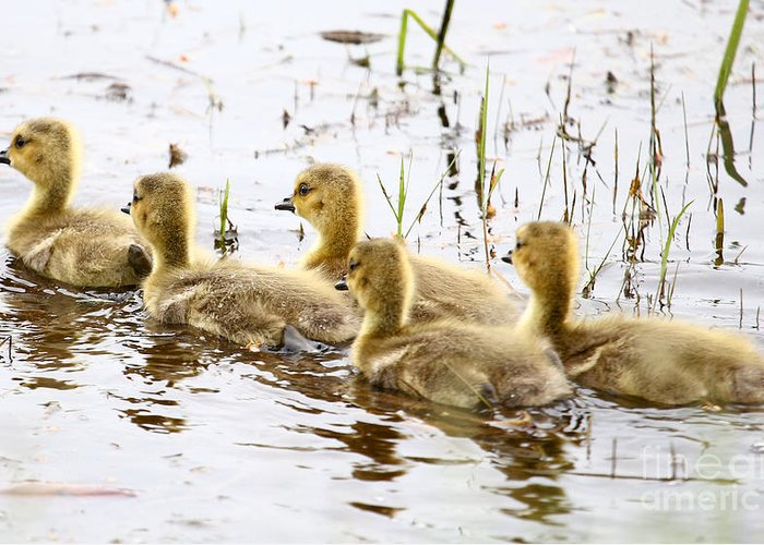 Goslings Greeting Card featuring the photograph Middle Child By James Figielski by Paulinskill River Photography