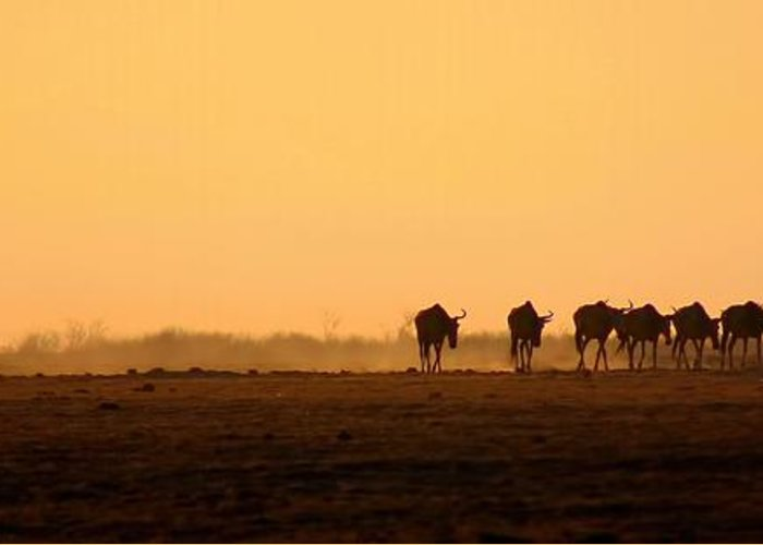 Wildebeests Greeting Card featuring the photograph Migration by Amanda Stadther