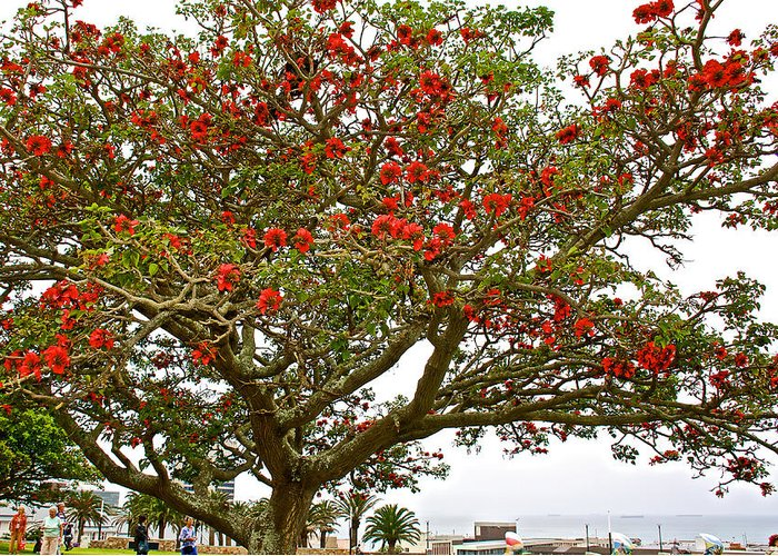 Milkwood tree in donkin reserve in port elizabeth south africa milkwood tree in donkin reserve in port elizabeth greeting card featuring the photograph milkwood tree in m4hsunfo
