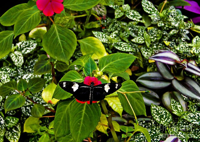 Butterfly Greeting Card featuring the photograph Mindo Butterfly At Rest by Al Bourassa