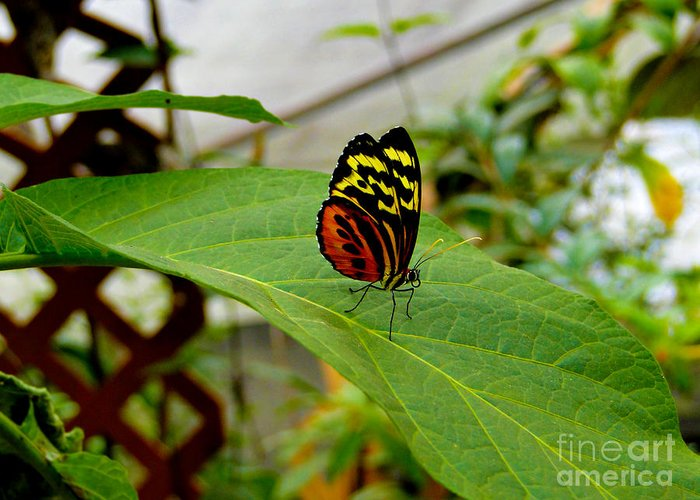 Butterfly Greeting Card featuring the photograph Mindo Butterfly Poses by Al Bourassa
