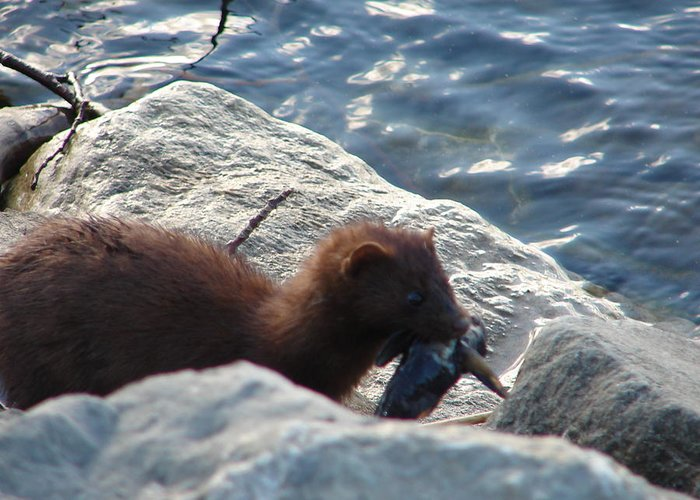 American Mink Greeting Card featuring the photograph Mink With A Round Goby by Randy J Heath