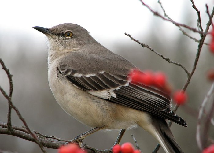 Mockingbird With Winter Berries Two Photograph By Sandy Tolman