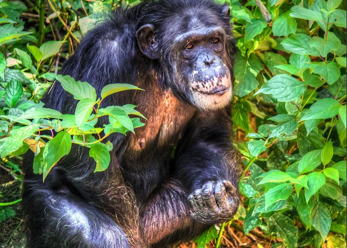 Chimp Greeting Card featuring the photograph Model Behavior by William Reek