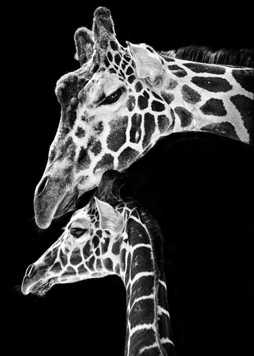 3scape Photos Greeting Card featuring the photograph Mom And Baby Giraffe by Adam Romanowicz