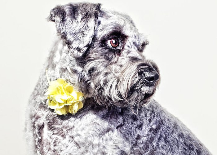 Dog Greeting Card featuring the photograph Momo The Schnauzer by Joy Hsieh