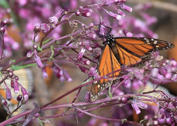 Monarch Greeting Card featuring the photograph Monarch 1 by Robert McKinstry