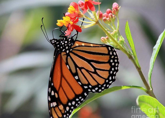 Texas Greeting Card featuring the photograph Monarch by Ashley M Conger