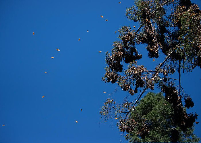 Animals Greeting Card featuring the digital art Monarch Butterflies Flying by Carol Ailles
