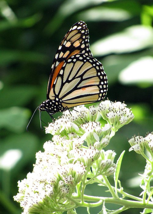 Butterfly Greeting Card featuring the photograph Monarch Butterfly 58 by Pamela Critchlow