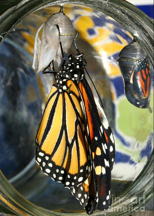 Monarch Greeting Card featuring the photograph Monarch In A Jar by Steve Augustin