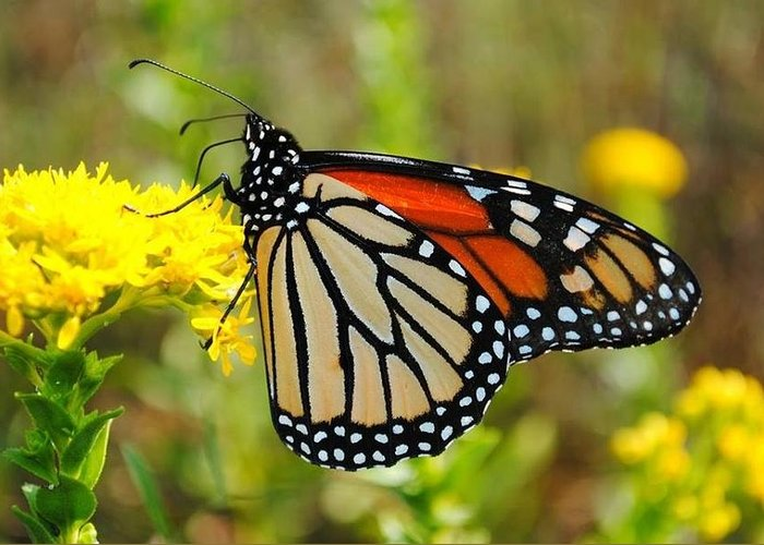 Greeting Card featuring the photograph Monarch by Rachel Bazarow