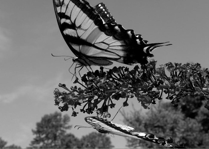 Swallowtail Greeting Card featuring the photograph Swallotail In Black And White by Kim Galluzzo Wozniak