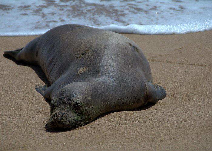 Seal Greeting Card featuring the photograph Monk Seal Sunning by Brian Harig