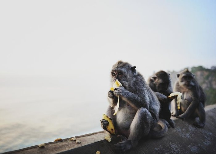 In A Row Greeting Card featuring the photograph Monkeys Eating Bananas by Carlina Teteris