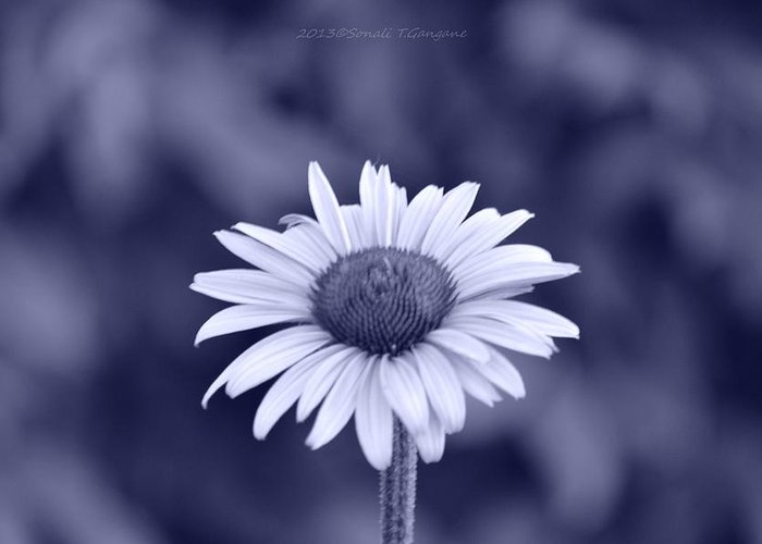 Cone Flower Greeting Card featuring the photograph Monochrome Aster by Sonali Gangane
