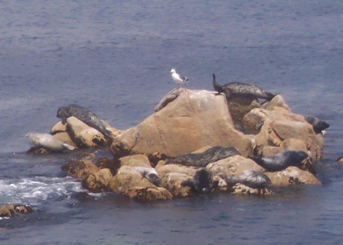 Seal Greeting Card featuring the photograph Monterey Sun Bath by Pharris Art