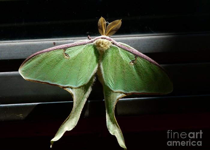 Moon Moth Greeting Card featuring the photograph Moon Moth by Christine Stack